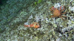 Deep Sea fish and crab in 300m - Cocos Island, Pacific Ocean Stock Footage
