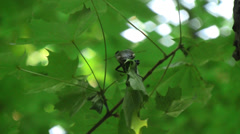 Stag beetle (Lucanus cervus) male creeping along the Norway maple branch Stock Footage