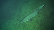 Stock Video Footage of Deep Sea shark (prickly shark, echinorhinus cookie) on 300 m