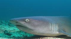Whitetip reef shark breath - close up shot - stock footage