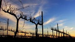 Vineyard Sunset Time Lapse Stock Footage