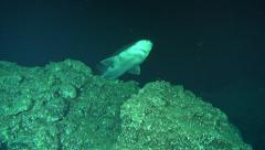 Deep Sea prickly shark, Echinorhinus Cookie in 300m - Cocos Island, Pacific  Stock Footage