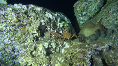 Deep Sea fish and crab in 300m, olive grouper - Cocos Island, Pacific Ocean Stock Footage