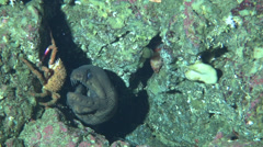 Deep Sea moray in 200m - Cocos Island, Pacific  Ocean Stock Footage