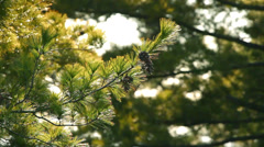 Pine tree wawing on wind Stock Footage