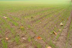 Green filed of winter grain crops Stock Photos