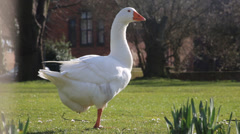 Goose Standing in green park Stock Footage