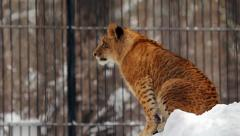 Portrait of a baby liger (liliger) Stock Footage
