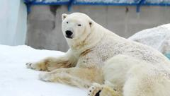 Portrait of a polar bear resting in a zoo Stock Footage