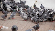 Stock Video Footage of City Pigeons at plaza eating bread crumbs