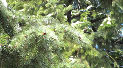 Spring Forest - 08 - Xmas Trees Stock Footage