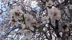 Almond blossom Stock Footage