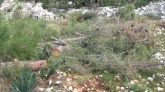 Hewn pine tree panning Stock Footage