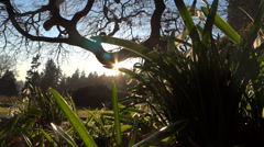 Spring Flowers - 08 - Snowdrops In Sun Rays - Loop Stock Footage