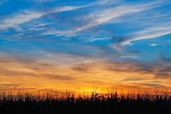 Stock Photo of Maize at Sundown