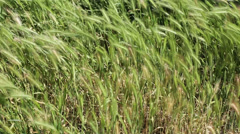Wild grass and weed waving on wind Stock Footage