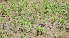 Agriculture: Corn fields -  young corn plants waving on wind Stock Footage