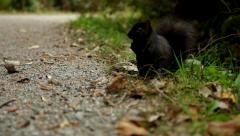 A black squirrel eating seeds and nuts in the park. - stock footage