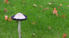 White mushroom and dry leaves in autumn Stock Footage