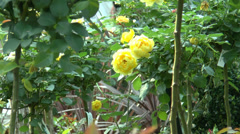 UK yellow rose, Friesia in full bloom close up view. Stock Footage