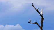 Stock Video Footage of Beautiful Egret (Ardea alba) with a bird in Pantanal, Brazil