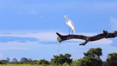 Beautiful Egret (Ardea alba) in Pantanal, Brazil - stock footage