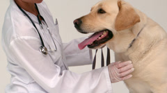 Vet checking a yellow labrador - stock footage