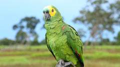 Brazilian Parrot on Pantanal, Brazil Stock Footage