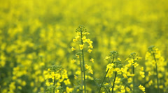 Canola field Stock Footage