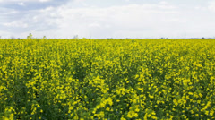 Canola field upon overcast sky on windy day;  Stock Footage