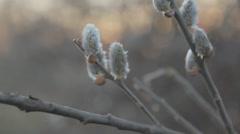 Tree buds close Stock Footage