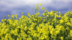 Canola field upon overcast sky - stock footage