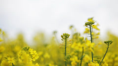 Canola field flowers close up - stock footage