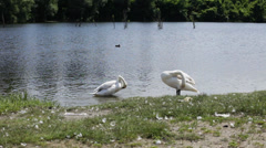 Swan on lake arranging feather; springtime; - stock footage