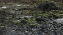 Eurasian Oystercatcher in Iceland Stock Footage