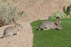 Stock Photo of Desert Cottontail Rabbits