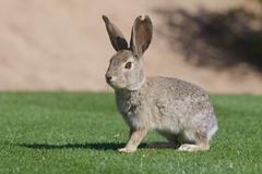Desert Cottontail Rabbit - stock photo