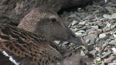 Common eider female close up Stock Footage