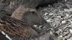 Common eider female close up Stock Footage