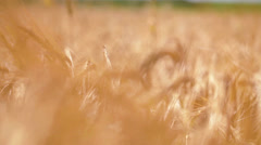 Barley Wheat field - plants wawing at slow wind; close-up;  Stock Footage