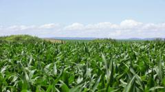 Corn plants on wind on sunny day - stock footage