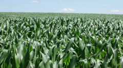 Corn plants waving on wind Stock Footage