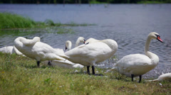 Swans on lake chilling out - stock footage