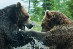 Two grizzly (brown) bears fight soft focus Stock Photos
