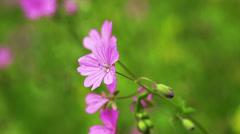 Cicory flower waving on wind, closeup Stock Footage