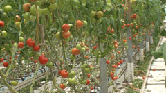 Hydroponic cultivation of tomatoes in greenhouse Stock Footage