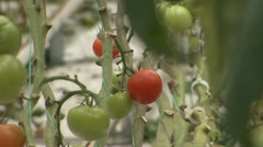 Tomatoes in the greenhouse hydroponics Stock Footage