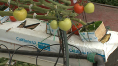 Tomato growth in hydroponic containers Stock Footage