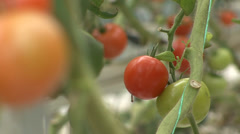Greenhouse tomatoes Stock Footage