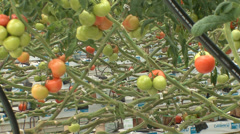 Greenhouse hydroponic gardening of tomatoes Stock Footage